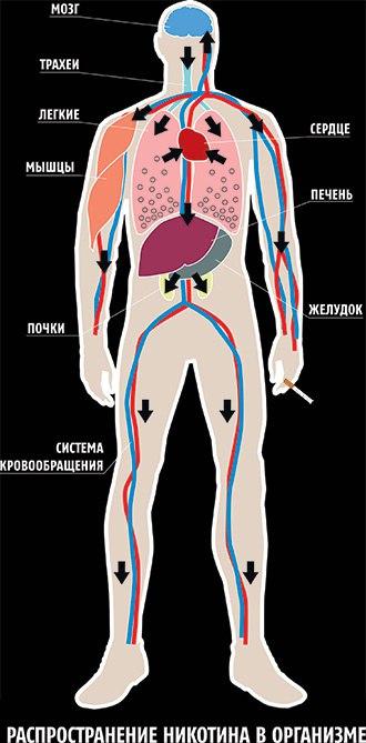 распространение никотина в организме